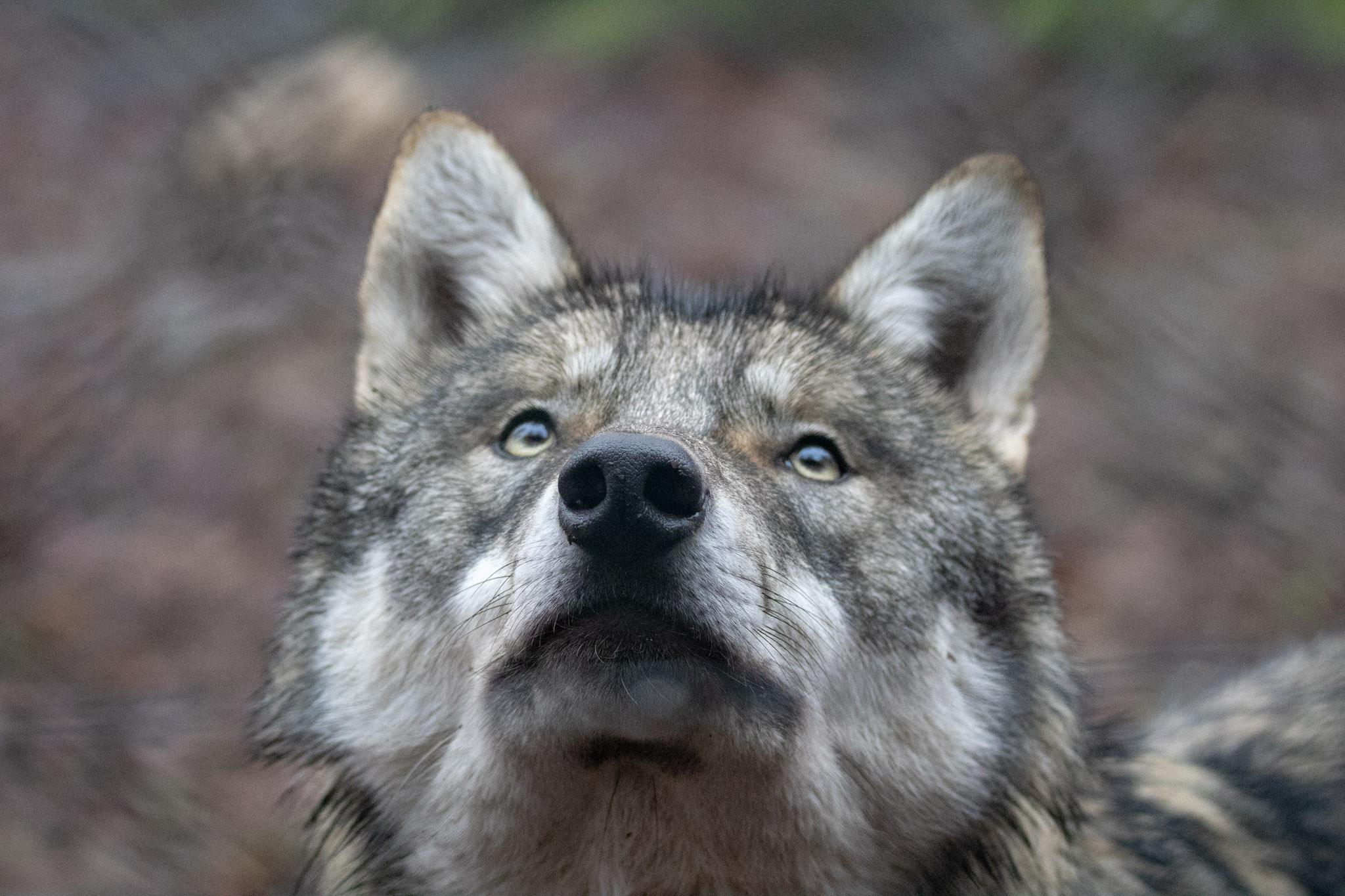 dieses Foto zeigt einen Wolf, aufgenommen im Tierpark Hexentanzplatz Thale